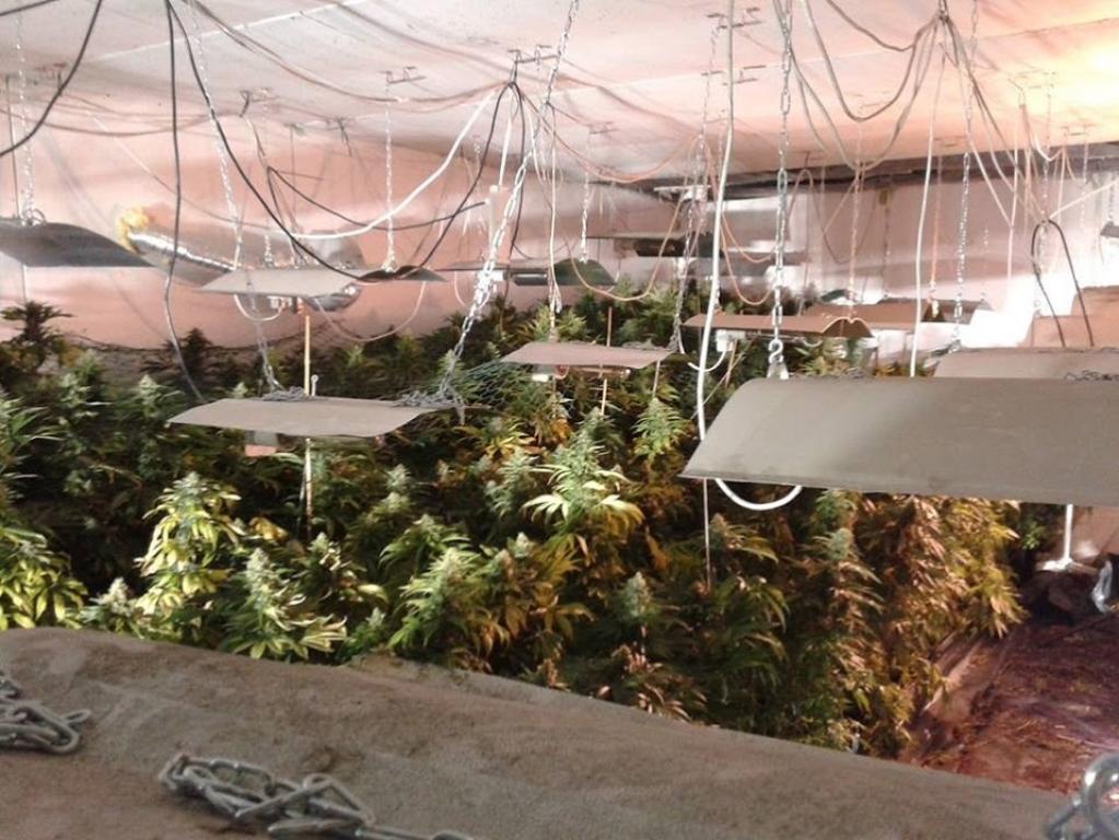 Tak wyglądała nielegalna plantacja konopi indyjskiej