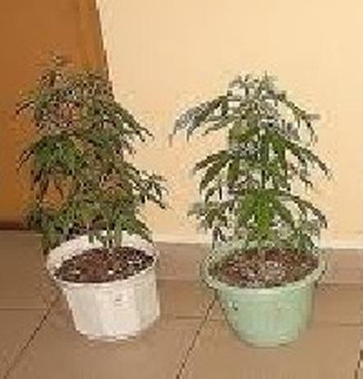 Marihuana w doniczce