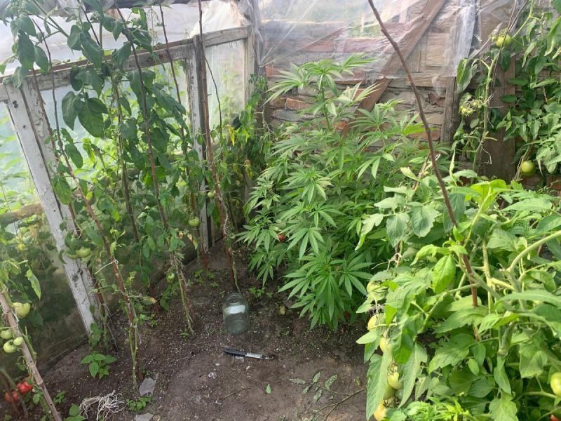 Policja zabezpieczyła 10 krzewów konopi