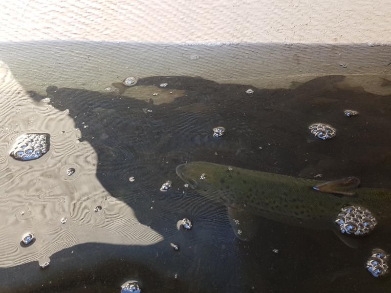Zarybienia Parsęty smoltem troci i łososia  - dzieci biorą udział.