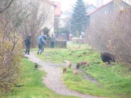 Stado dzików sieje postrach w Białogardzie - działkowcy uciekają przerażeni! Zobaczcie zdjęcia.